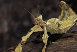 Extatosoma Tiaratum (Giant Prickly Stick Insect) Photographic Print by Paul Starosta