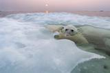 Polar Bear, Hudson Bay, Canada Photographic Print by Paul Souders
