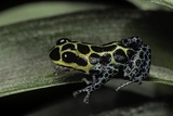 Ranitomeya Imitator (Mimic Poison Frog) Photographic Print by Paul Starosta