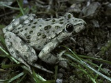 Pelodytes Punctatus (Common Parsley Frog) Photographic Print by Paul Starosta