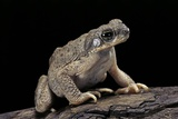 Anaxyrus Punctatus (Red-Spotted Toad) Photographic Print by Paul Starosta