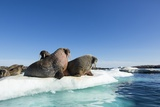 Walrus Herd on Ice, Hudson Bay, Nunavut, Canada Photographic Print by Paul Souders