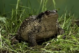 Bufo Bufo (European Toad, Common Toad) Photographic Print by Paul Starosta