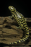 Ambystoma Tigrinum Tigrinum (Tiger Salamander) Photographic Print by Paul Starosta