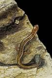 Eurycea Bislineata (Northern Two-Lined Salamander) Papier Photo par Paul Starosta