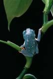 Pachymedusa Dacnicolor (Mexican Leaf Frog) Fotografisk tryk af Paul Starosta