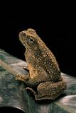 Bufo Asper (River Toad, Kodok Puru Besar) Photographic Print by Paul Starosta