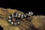 Ambystoma Opacum (Marbled Salamander) Reproduction photographique par Paul Starosta