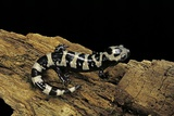 Ambystoma Opacum (Marbled Salamander) Photographic Print by Paul Starosta