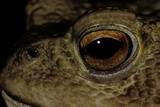 Bufo Bufo (European Toad, Common Toad) - Eye Photographic Print by Paul Starosta