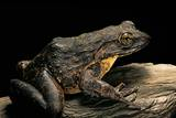 Conraua Goliath (Giant Frog) Photographic Print by Paul Starosta