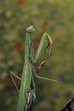 Mantis Religiosa (Praying Mantis) Photographic Print by Paul Starosta