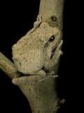 Chiromantis Xerampelina (Grey Foam-Nest Treefrog) Photographic Print by Paul Starosta