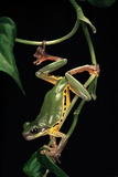 Hyla Chinensis (Chinese Tree Toad) Photographic Print by Paul Starosta