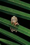 Hyperoliusi Fusciventris (Lime Reed Frog) Photographic Print by Paul Starosta