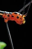 Oreophoetes Peruana (Peruvian Fire Stick) - Portrait Photographic Print by Paul Starosta