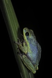 Hyperolius Tuberilinguis (Tinker Reed Frog) Photographic Print by Paul Starosta