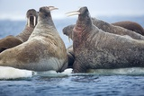 Walrus Herd, Hudson Bay, Nunavut, Canada Fotografisk tryk af Paul Souders