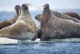 Walrus Herd, Hudson Bay, Nunavut, Canada Reprodukcja zdjęcia autor Paul Souders