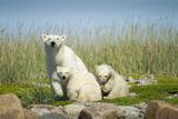 Polar Bear and Cubs, Hudson Bay, Manitoba, Canada Photographic Print by Paul Souders