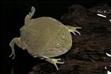 Lepidobatrachus Laevis (Budgett's Frog, Escuerzo De Agua) Photographic Print by Paul Starosta