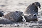 Walrus, Hudson Bay, Nunavut, Canada Fotografisk tryk af Paul Souders
