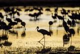 Sandhill Cranes, Bosque Del Apache, New Mexico Photographic Print by Paul Souders
