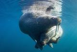 Underwater Walrus, Hudson Bay, Nunavut, Canada Fotografisk tryk af Paul Souders