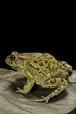 Amietophrynus Garmani (Garman's Toad) Photographic Print by Paul Starosta