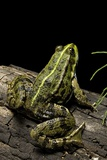 Pelophylax Ridibundus (Marsh Frog, Laughing Frog) Photographic Print by Paul Starosta
