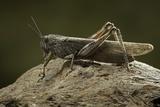 Anacridium Aegyptium (Egyptian Locust) Photographic Print by Paul Starosta