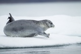 Ringed Seal on Iceberg, Nunavut, Canada Photographic Print by Paul Souders