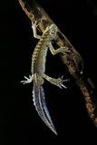 Ommatotriton Vittatus (Southern Banded Newt) Photographic Print by Paul Starosta