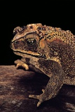 Duttaphrynus Melanostictus (Spectacled Toad) Photographic Print by Paul Starosta