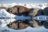 Walrus Herd on Sea Ice, Hudson Bay, Nunavut, Canada Fotografisk tryk af Paul Souders