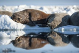Walrus Herd on Sea Ice, Hudson Bay, Nunavut, Canada Photographic Print by Paul Souders