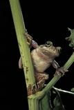 Hyla Versicolor (Gray Treefrog) Photographic Print by Paul Starosta