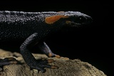 Tylototriton Taliangensis (Taliang Knobby Newt) Photographic Print by Paul Starosta