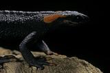 Tylototriton Taliangensis (Taliang Knobby Newt) Impressão fotográfica por Paul Starosta