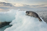 Ringed Seal Pup on Iceberg, Nunavut Territory, Canada Fotografisk tryk af Paul Souders