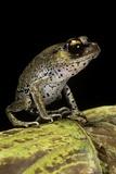 Leptobrachium Hasseltii (Hasselt's Toad, Tschudi's Frog) Photographic Print by Paul Starosta
