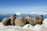 Walrus Herd on Iceberg, Hudson Bay, Nunavut, Canada Fotografisk tryk af Paul Souders