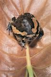 Kaloula Pulchra (Banded Bullfrog) Fotografisk tryk af Paul Starosta