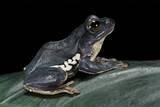 Rhacophorus Dennysi (Chinese Gliding Frog) Photographic Print by Paul Starosta