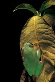 Agalychnis Moreletii (Black-Eyed Tree Frog) Photographic Print by Paul Starosta