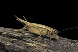 Acheta Domesticus (House Cricket) Photographic Print by Paul Starosta