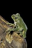 Leptopelis Vermiculatus (Amani Forest Treefrog, Big-Eyed Treefrog) Photographic Print by Paul Starosta