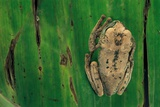 Leptopelis Brevirostris (Cameroon Forest Treefrog) Photographic Print by Paul Starosta