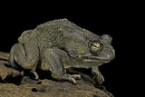 Amietophrynus Regularis (African Toad, Egyptian Toad) Photographic Print by Paul Starosta