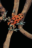 Oophaga Pumilio F. Bastimentos (Strawberry Poison-Dart Frog) Photographic Print by Paul Starosta
